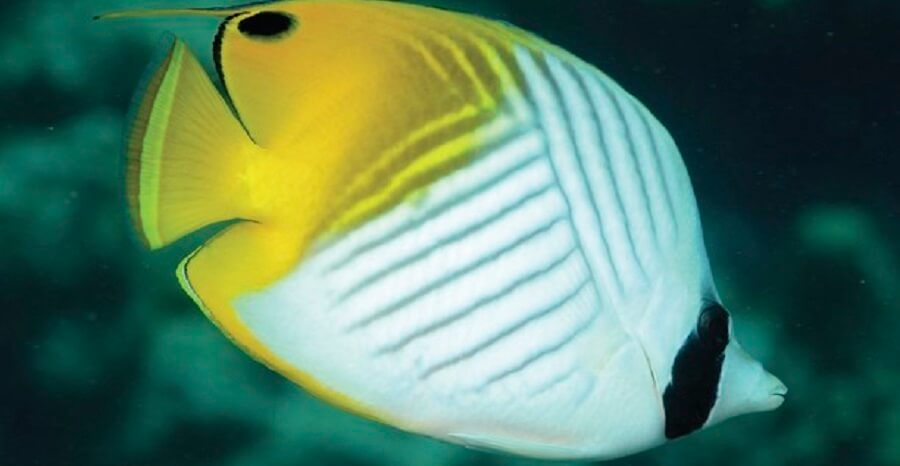 Great Barrier Reef Tour Butterfly fish