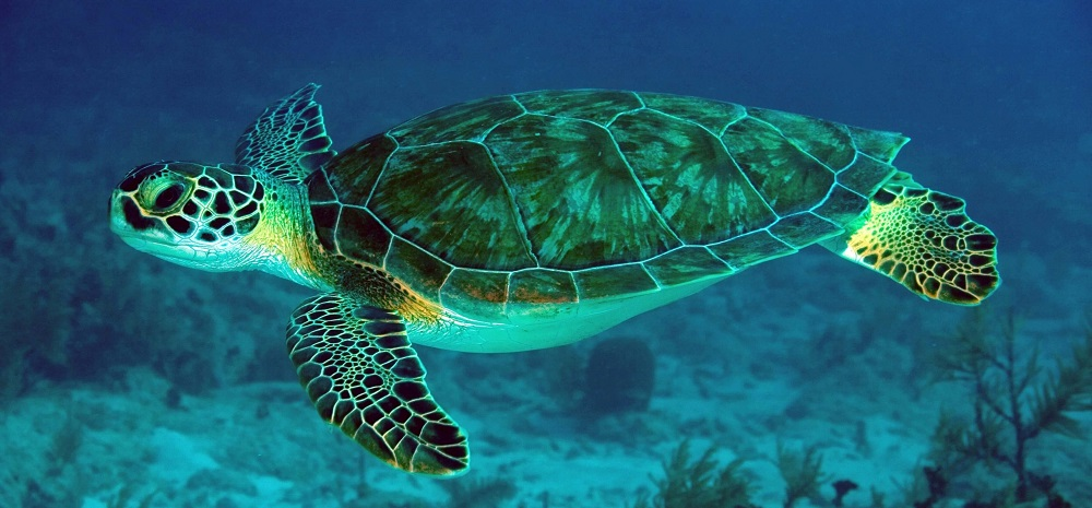 What Are The Different Types of Turtle in the Great Barrier Reef?